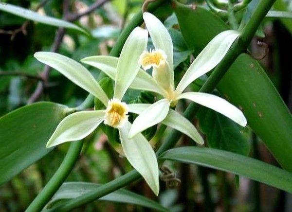 orchidee vanille